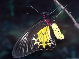 Common Birdwing Butterfly, Troides Helena Photographic Print by Alastair Shay