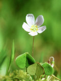 Wood Sorrel, Ross-Shire, Scotland Photographic Print by Iain Sarjeant