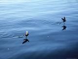 Wilsons Storm Petrel, Feeding, Ant. Peninsula Photographie par Rick Price