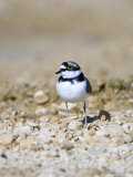 Little Ringed Plover, Male, UK Photographie par Mike Powles