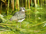 Lapwing, Adult Wading, UK Fotografisk tryk af Mike Powles