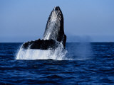 Humpback Whale, Hitting Water Photographic Print by Gerard Soury