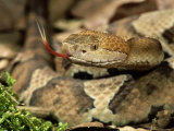 Northern Copperhead, Portrait, USA Photographic Print by Frank Schneidermeyer