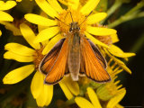Essex Skipper Butterfly, Adult Feeding from Flower, UK Photographic Print by Keith Porter