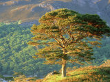 Scots Pine Tree, Ross-Shire, Scotland Photographic Print by Iain Sarjeant
