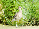 Curlew, Adult, UK Papier Photo par Mike Powles