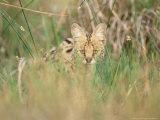 Serval, Hiding in Reeds by Khwai River, Botswana Fotografisk tryk af Richard Packwood