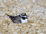 Little Ringed Plover, Male Incubating, UK Photographie par Mike Powles
