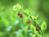 Blaeberry or Bilberry, Flower, Scotland Photographic Print by Iain Sarjeant
