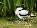 Pied Avocet, Adult Sheltering Young in Plumage, UK Photographic Print by Mike Powles