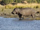 Hippopotamus, Adult Entering Water, Botswana Photographic Print by Mike Powles