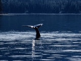 Humpback Whales, Raising Fluke at Surface, AK, USA Photographic Print by Gerard Soury
