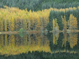 Autumn Larch Trees Reflected in Loch Meig, Strathconon Photographic Print by Iain Sarjeant