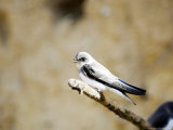 Sand Martin, Fledged Juvenile, UK Photographie par Mike Powles