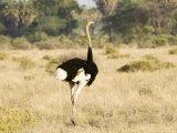 Ostrich, Male, Kenya Fotografisk tryk af Mike Powles