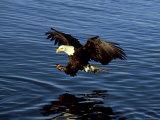 Bald Eagle, Hunting, USA Fotodruck von David Tipling