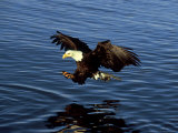 Bald Eagle, Hunting, USA Photographic Print by David Tipling