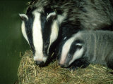 Badger, and Cub, England Photographic Print by Les Stocker