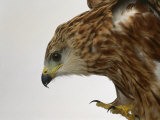 Red Kite Reproduction photographique par Les Stocker