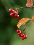 Guelder Rose, Berries, Kent Photographic Print by David Tipling