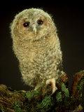 Tawny Owl, Young, UK Fotoprint van Les Stocker