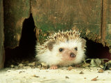 Four-Toed Hedgehog, England, UK Photographic Print by Les Stocker