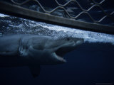 Great White Shark, Swimming by Cage, S. Australia Photographic Print by Gerard Soury