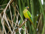 Peach-Fronted Parakeet, Parakeet Perched on Leafy Branch, Brazil Stampa fotografica di Roy Toft