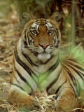 Tiger, Vertical Portrait, India Photographic Print by Satyendra K. Tiwari