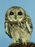 Short-Eared Owl, England, UK Photographic Print by Les Stocker