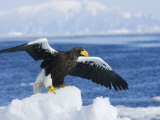 Stellars Sea Eagle, Wings Open About to Take-Off, Japan Photographic Print by Roy Toft
