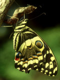 Citrus Swallowtail, New, C.Kenya Photographic Print by Steve Turner