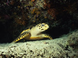 Hawksbill Turtle, Underwater, Maldives Photographic Print by Gerard Soury