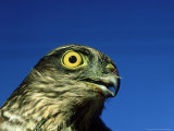 Sparrowhawk, England, UK Photographic Print by Les Stocker