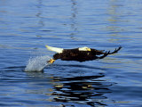 Bald Eagle, Feb, USA Photographic Print by David Tipling