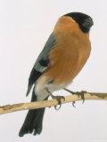 Bullfinch, UK Photographic Print by Les Stocker