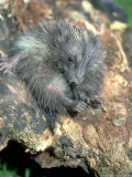 Hedgehog, Young, England, UK Photographic Print by Les Stocker