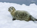 Harbor Seal, Young Seal Lying in Snow, Japan Stampa fotografica di Roy Toft