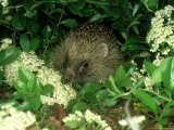 European Hedgehog, England Photographic Print by Les Stocker