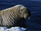Walrus, Baffin Island, Canada Photographic Print by Gerard Soury