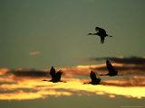 Sandhill Cranes at Dusk, New Mexico Photographie par David Tipling