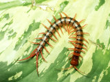 Tiger Centipede, Scolopendra Species, West Malaysia Photographic Print by Harold Taylor