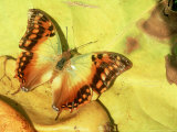 Green Veined Charaxes, Karura Forest, Kenya Photographic Print by Steve Turner