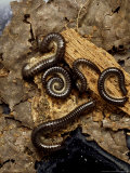 Millipede, Tachypodius Niger Photographic Print by Harold Taylor