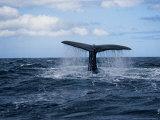 Sperm Whale, About to Dive, Portugal Reprodukcja zdjęcia autor Gerard Soury