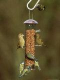 Tits and Other Garden Birds on Feeder, Winter Photographie par David Tipling