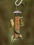 Tits and Other Garden Birds on Feeder, Winter Photographic Print by David Tipling