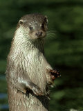 European Otter, Suffolk, UK Photographic Print by David Tipling