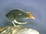 Moorhen, Young, UK Photographie par Les Stocker