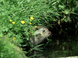 European Otter, Suffolk Photographic Print by David Tipling